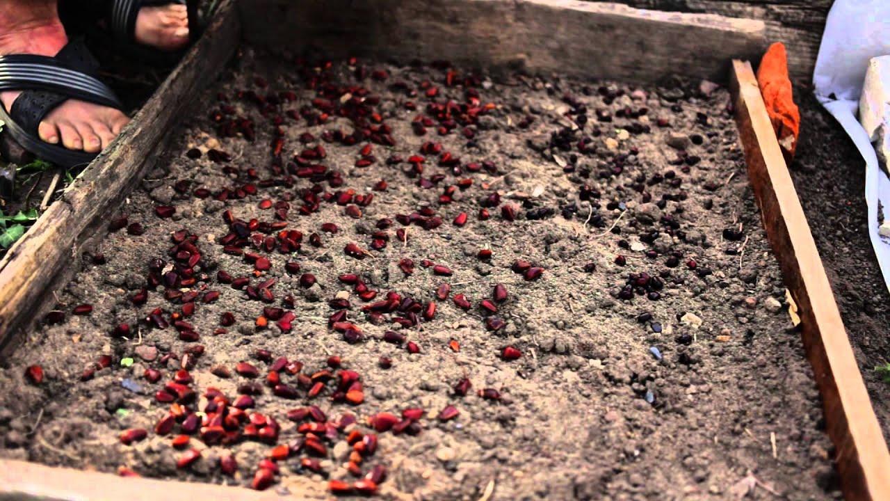 Выращивание грецкого ореха из семян ЧАСТНЫЙ ДОМ. САД 7