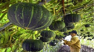 Asian Pumpkin Farming and Harvesting - Amazing Japan Agriculture Farm