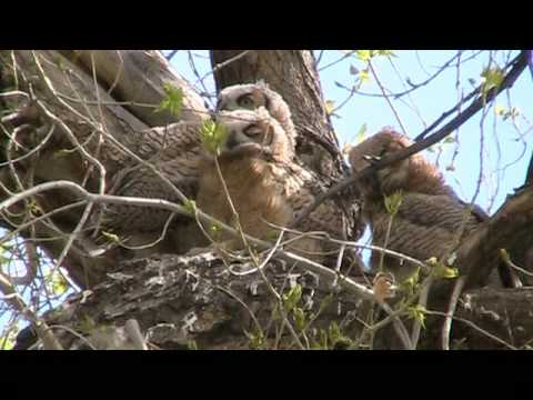 Great Horned Owl Video / Slide Show