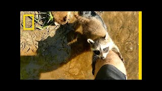 Adorable Raccoon Babies Make Human Friend | National Geographic