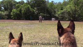Two Protection malinois dogs working as a team!