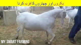 10 | Goat and Sheep Fattening | بکروں اور چھتروں کو فربہ کرنا  | Goat Farming in India Pakistan