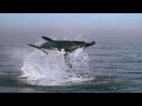 Great White Shark Attack - BBCs Planet Earth ®