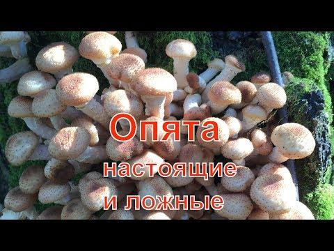 Ложные опята! Как отличить настоящие опята от ложных и несъедобных грибов.