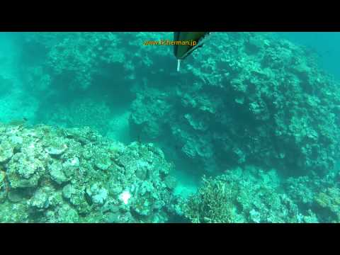 Big blue parrotfish Spearfishing in Okinawa, Japan #6