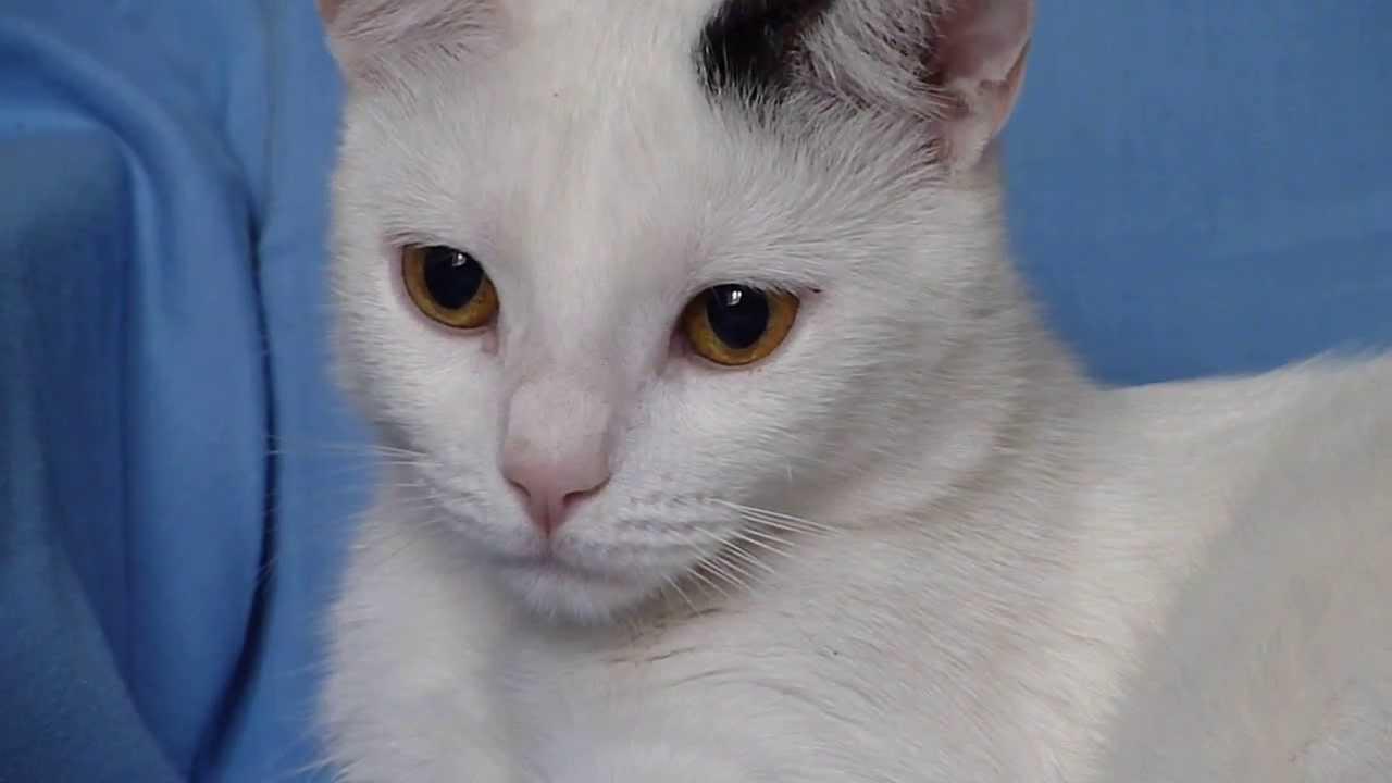 Amaurotic Cats Eye Reflex Cat's Eyes Pupillary Reflex
