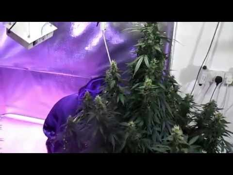 LED grow lights - Dutch Passion's AutoMazar - Quantum Helios 6 :day 45 in bloom
