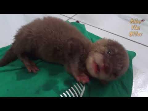 Kibo Main Setelah Minum Susu -  Baby Otters