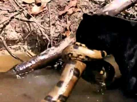 Animal war 2 : Caiman vs Jaguar vs Anaconda