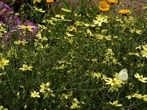 Butterfly Companions Cabbage White Butterflies-2