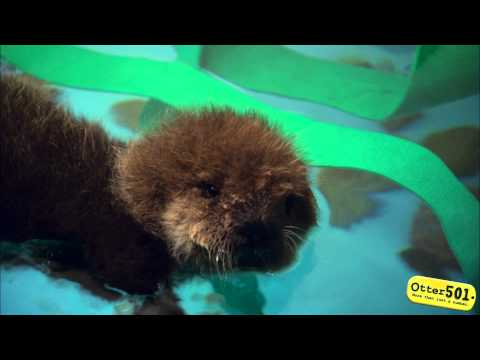 0 Cutest Baby Otter Ever