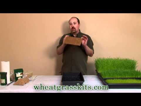 Growing Wheatgrass Hydroponically   Grow Wheat Grass