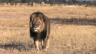 North Dakota Born Dentist Walter J. Palmer Kills Cecil The Lion After His Niggers Lure Cec Off Nat'l