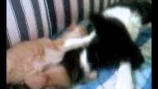 Border Collie pup mothering kittens