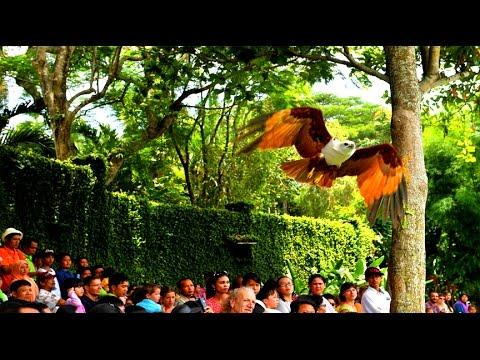 HISTERIIISSSS!!! Atraksi Elang Ganas Terkam Penonton Eco Green Park, Batu, Malang