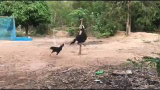 Funny Video Clip hen and cock playing very funny (must watch)
