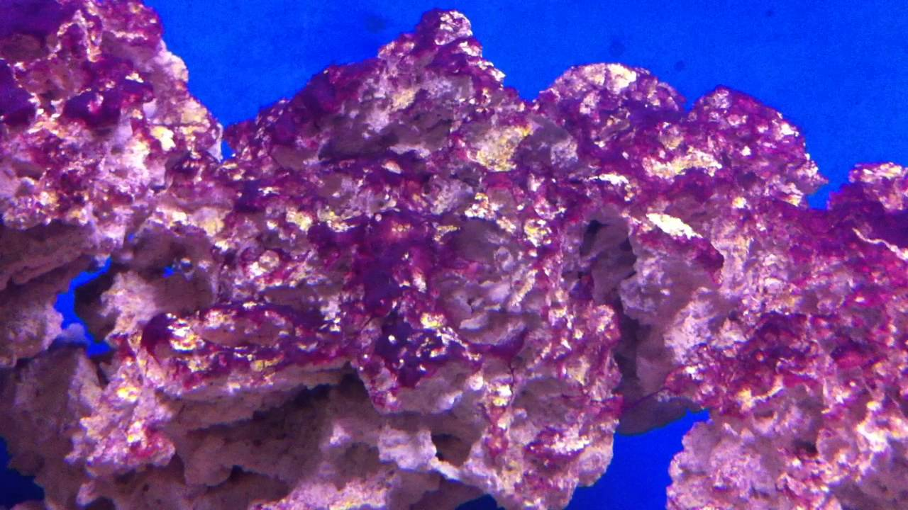 red slime algae cyanobacteria or not youtube