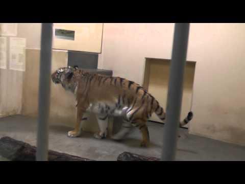 2011年5月22日 釧路市動物園 アムールトラのココア 寝室での様子