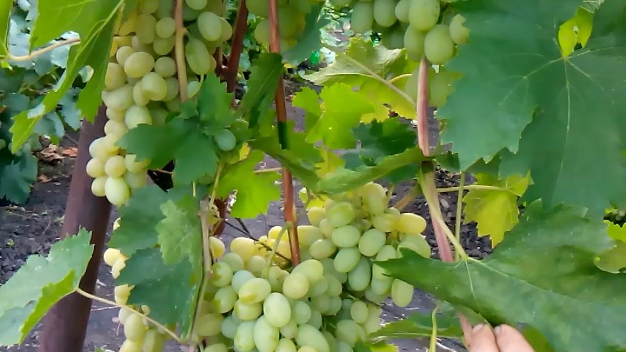 Виноград сорт новый подарок 188