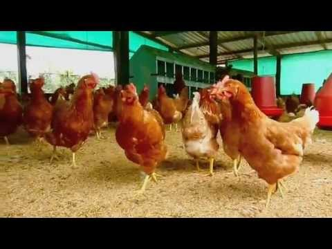 Proyecto gallinas felices ecol gicas y sanas bienestar for Proyecto de criadero de mojarras