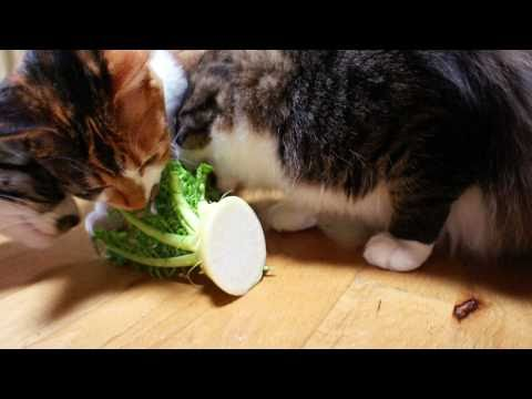 大根を食べる猫