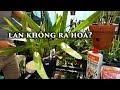 TẠI SAO LAN KHÔNG RA HOA