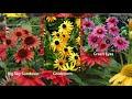 South Dakota Home Garden: Coneflowers