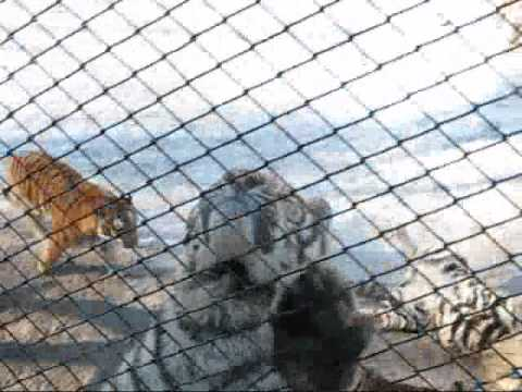 Feeding Chickens to Siberian Tigers in Harbin, China