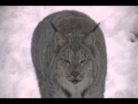 CANADIAN LYNX 'eh Species Spotlight