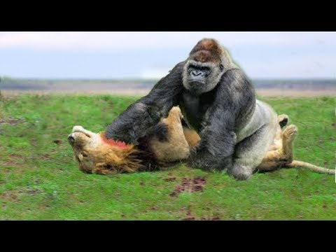 LIVE: Big Battle of Gorilla vs Lion - Crocodile vs Leopard - Buffalo vs Python - Wild Animals 2018