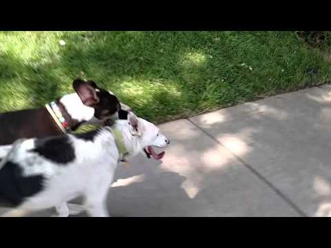 Denver Dog Joggers: Running with Funches