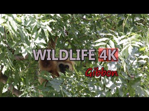Ultra HD 4K Wildlife Gibbon Wild Monkey Ape Tropical Forest Tourism Asia Travel Video Stock Footage