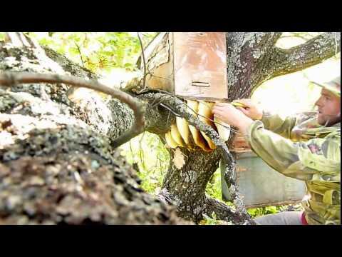 видео ловля диких пчел видео