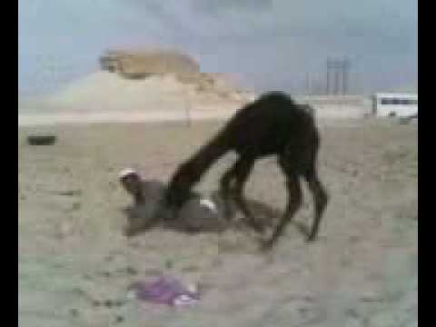 Camello - Arabe asustado por su camello