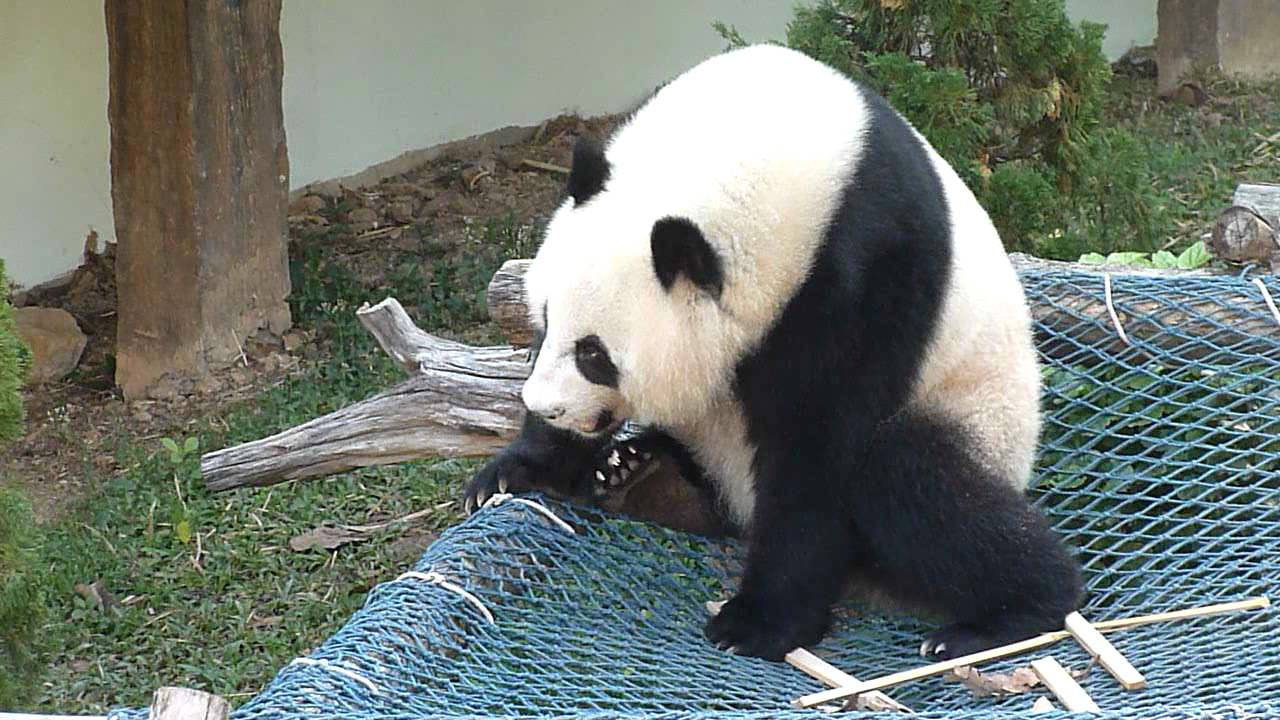 Lin Ping ru Lin Ping The Giant Panda
