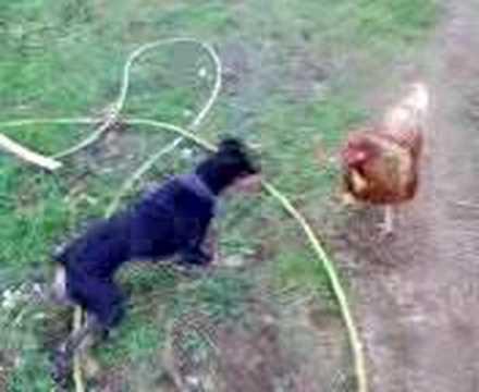 Gallina contra perro