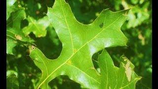What Oak Trees And Leaves Look Like In Nature