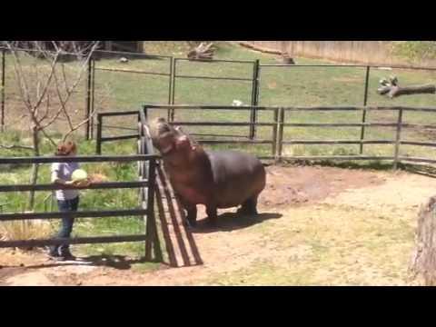 Henry The Hippo gets treats