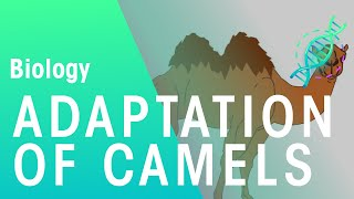 Adaptations of Camels | Ecology and Environment | the virtual school