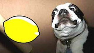 Best Funny Videos 2016 - Funny Cats and Dogs vs Lemons