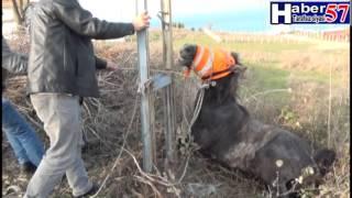 sinop ineklere saldıran yaban at güçlükle sakinleştirildi