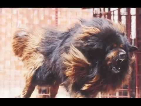 lion fight with dog