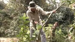 Nông dân miền Tây -- Kỳ 18: Ông Lê Văn Chía với giống vú sữa bơ hồng cơm vàng