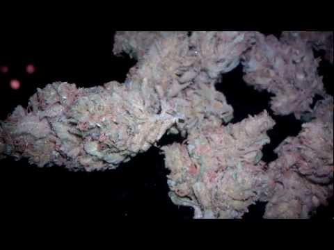 Greenhouse Seed Company Super Lemon Haze Final Harvest Results Video