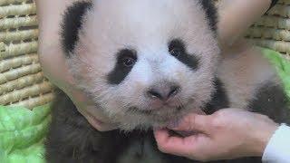 よちよち赤ちゃんパンダ