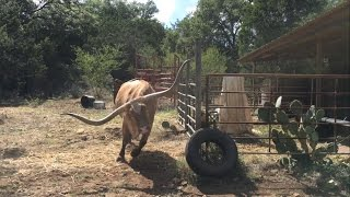 Getting charged by a longhorn