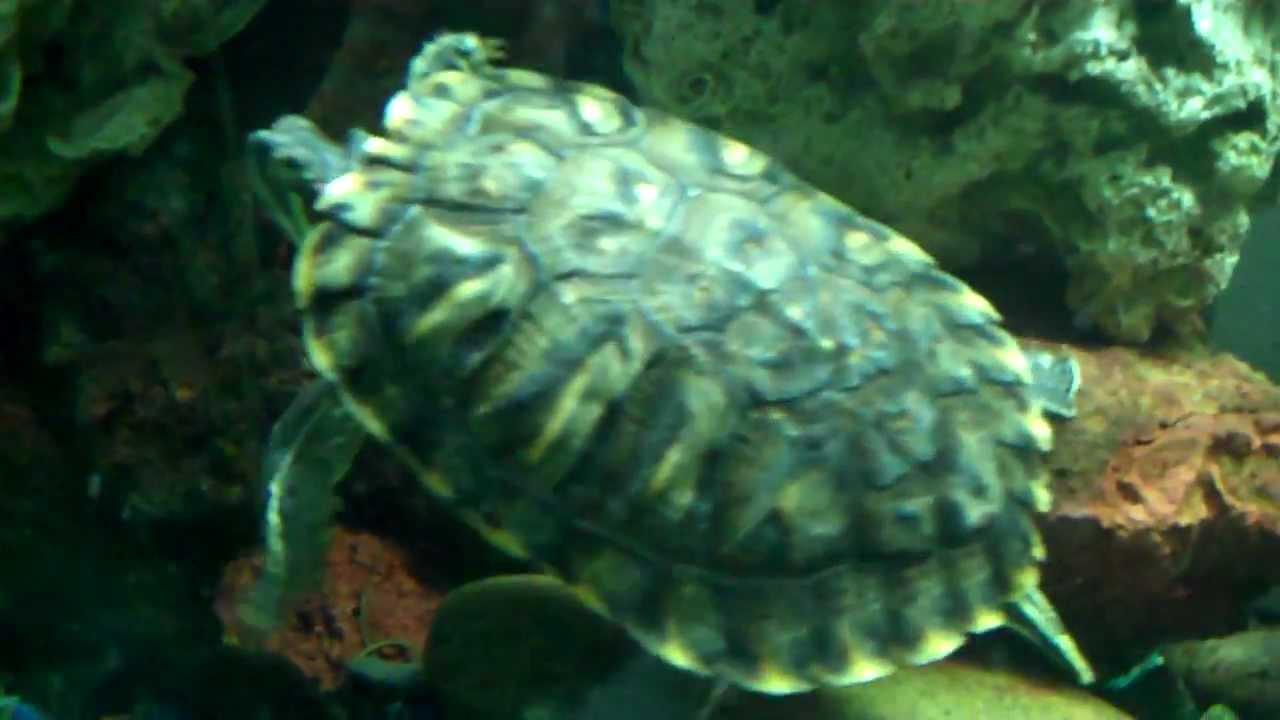 Sea Turtle Fishing Sea Turtle in Fish Tank