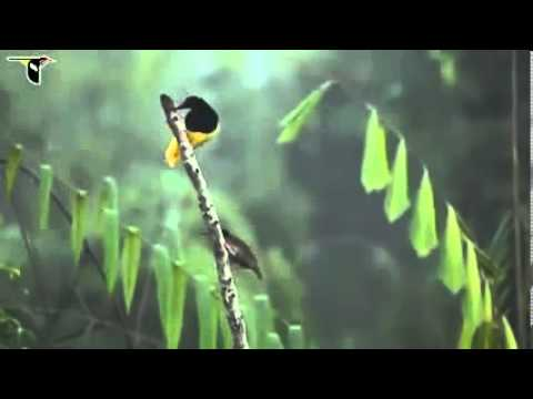 Twelvewired Bird Of Paradise video