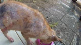 Emotional neglected dog rescue and transformation - SAFE Perth