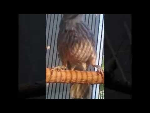 Download Suara Burung Cucak Rowo - DOWNLOAD LAGU MP3